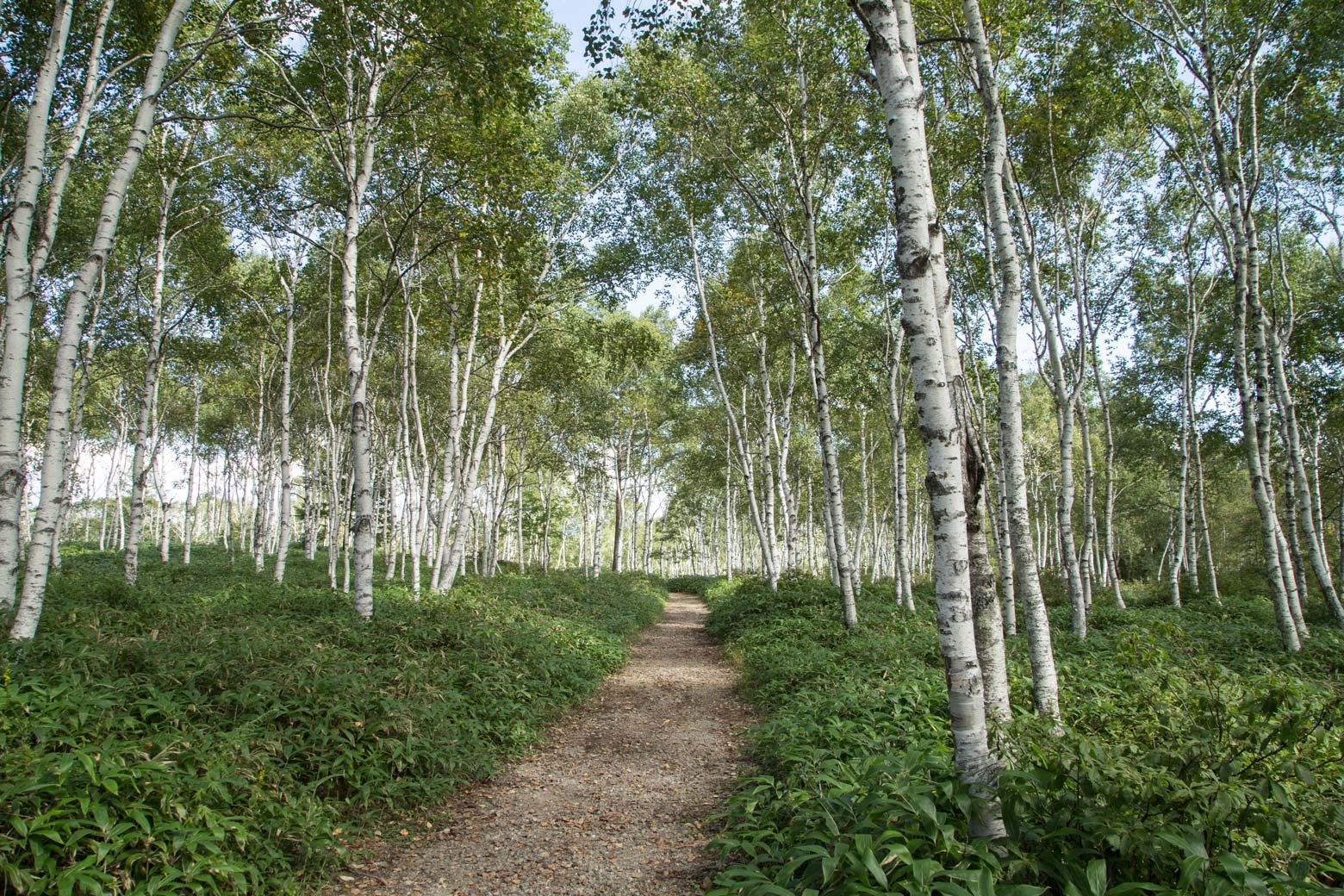 「北海道白樺林」的圖片搜尋結果